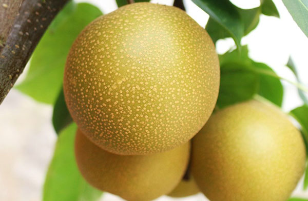 Asian pear: Grow & Care for Pyrus pyrifolia