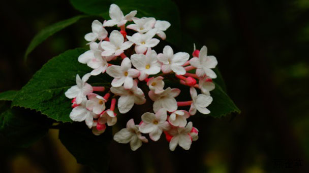 Koreanspice Viburnum (Viburnum Carlesii) Profile
