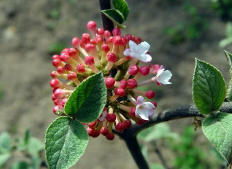 Koreanspice viburnum