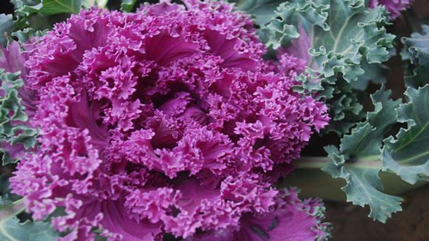 Kale: Grow & Care for Kale Brassica oleracea