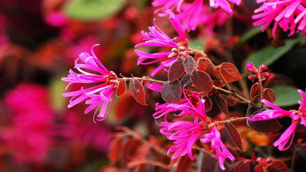 Chinese fringe flowers: Grow & Care for Loropetalum chinense