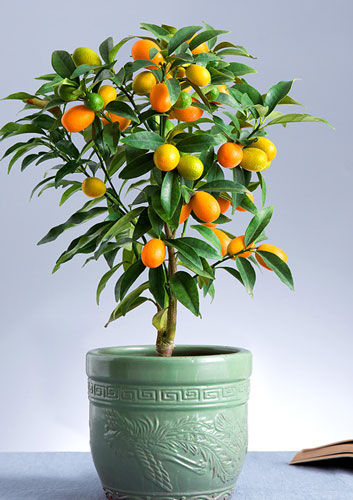 Best Indoor Tree - Kumquat