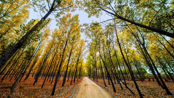 Lombardy poplars: Grow & Care for Populus nigra Italica