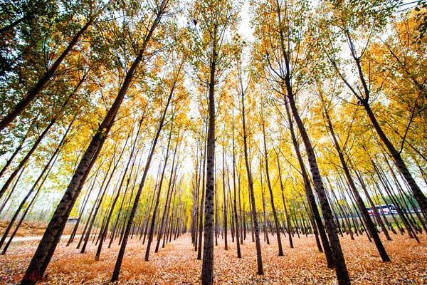 Lombardy poplars