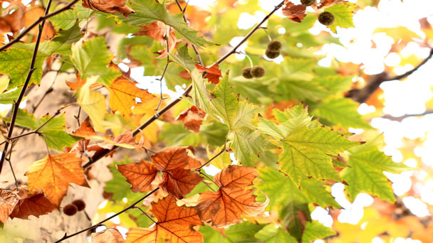 London planetree: Grow & Care for Platanus acerifolia hybrida