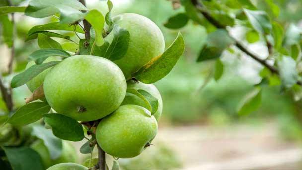 Lodi Apple Tree Grow & Care Guide