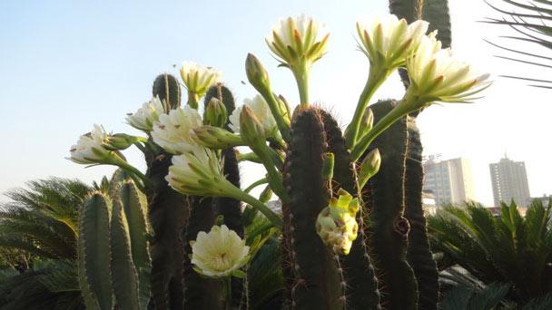 Cereus Peruvianus (Peruvian Apple Cactus) Grow & Care Guide
