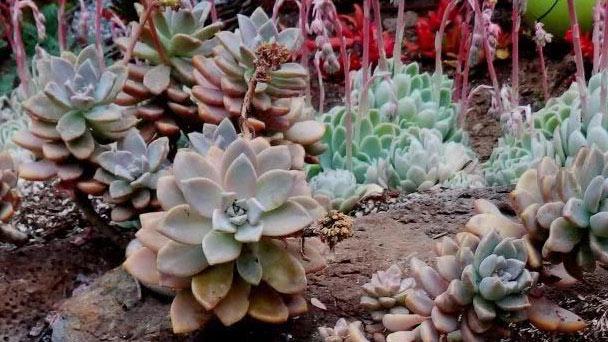 Graptopetalum Paraguayense (Ghost Plant)Profile
