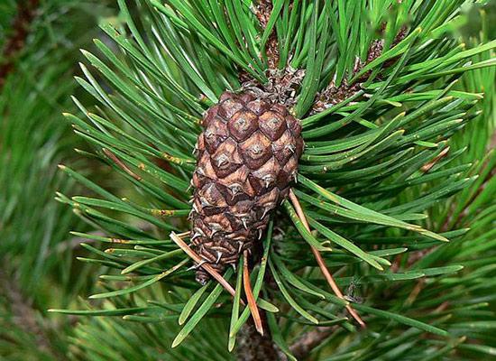Lodgepole pine(Pinus contorta)