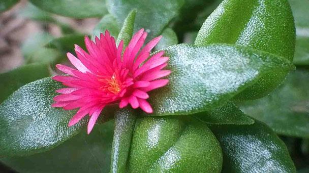 Aptenia cordifolia: Baby Sun Rose Care Guides