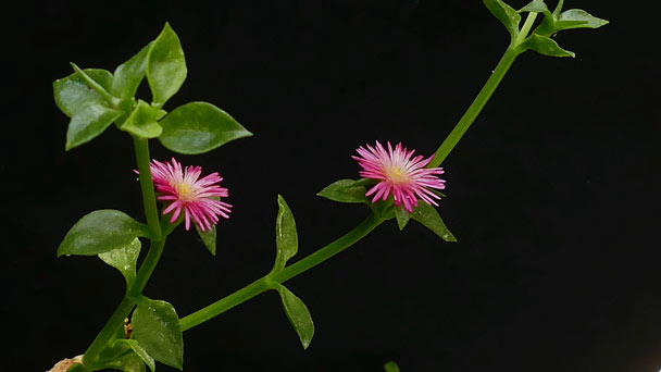 Aptenia cordifolia (Baby sun rose)Profile