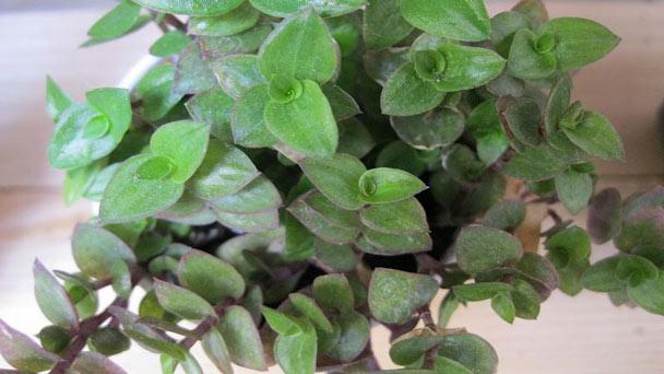 Callisia Repens (Turtle Vine)Profile