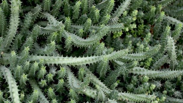 Starfish snake plant (Starfish Sansevieria)Profile