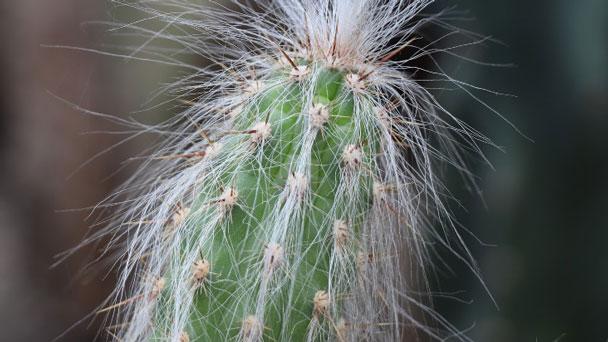 Old man cactus (Cephalocereus senilis) Profile