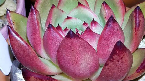 Echeveria agavoides:How to Grow and Care Echeveria agavoides