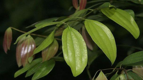 Bay leaf plants (Laurus nobilis)Profile