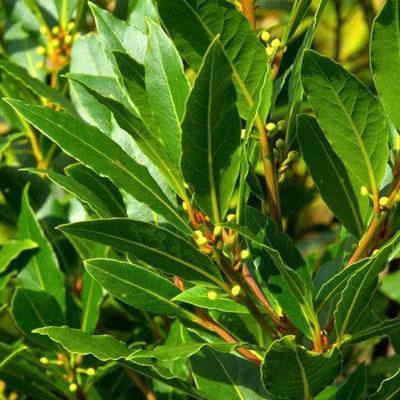 Bay leaf plants