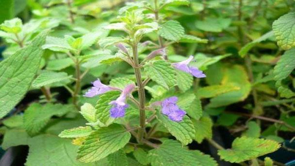 Catnip Plant: How to Gorw & Care for Catnnip Plant