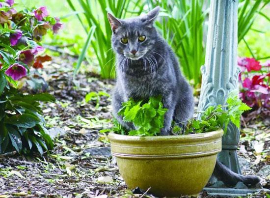 Catnip plants