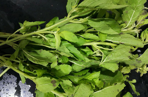 Thai basil plants