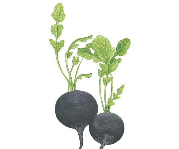 Spanish black radish