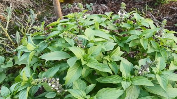 Thai basil plants (Ocimum basilicum Horapha)Profile