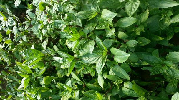 Thai basil plants: Ocimum basilicum HoraphaCareGuide