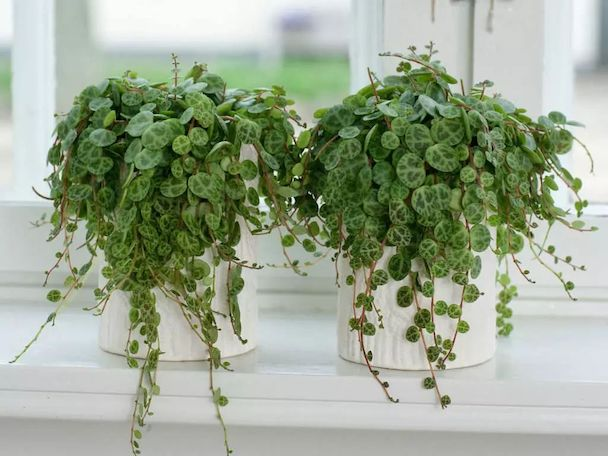 String of Turtles Plant (Peperomia Prostrata) Care Guide