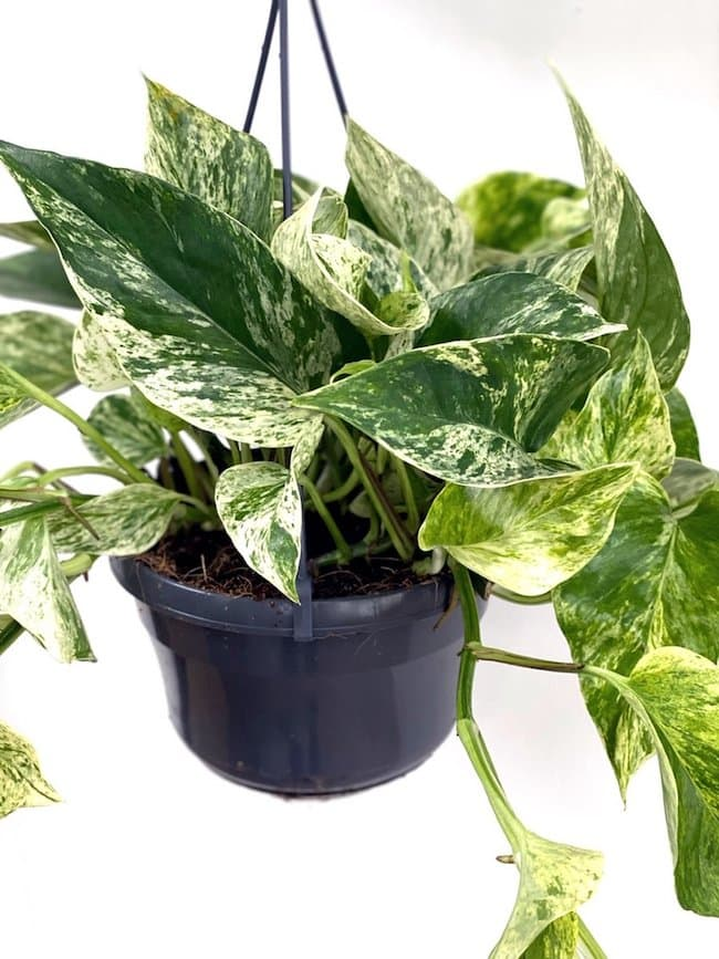 Marble Queen Pothos - most common house plant