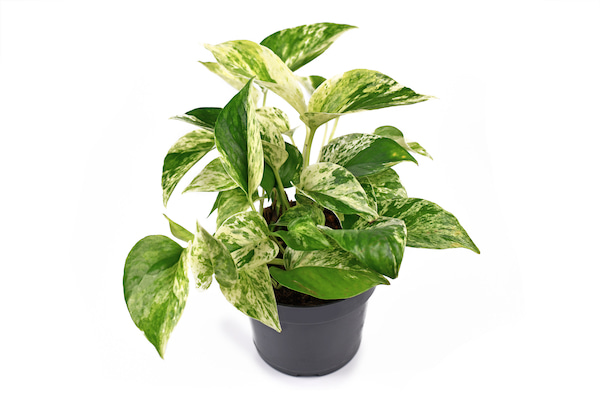 Marble Queen Pothos Care & Growing Guide