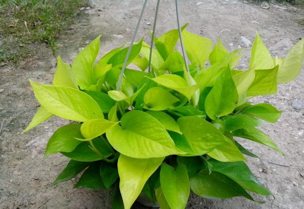Neon Pothos Plant Care Guide