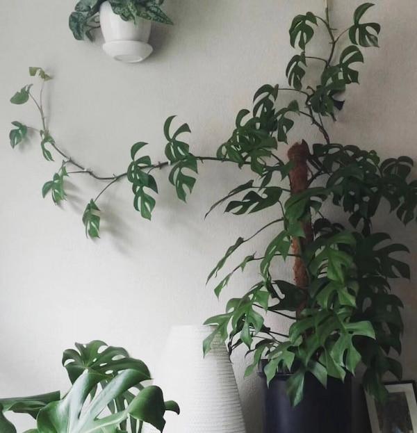 Rhaphidophora Tetrasperma Care & Propagation