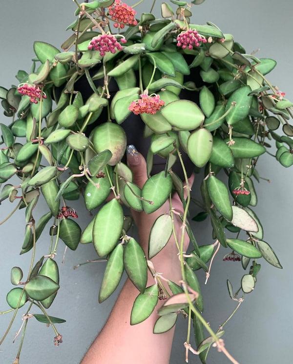 Hoya Burtoniae Flower Picture
