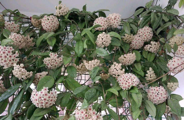 Hoya Carnosa Flower