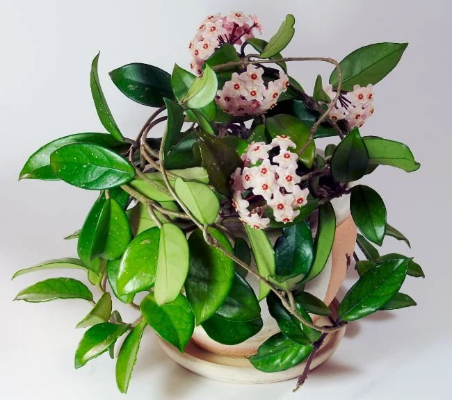 Hoya Carnosa Flower Picture