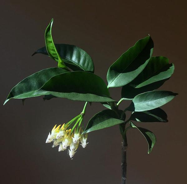 Hoya Multiflora Flower Picture