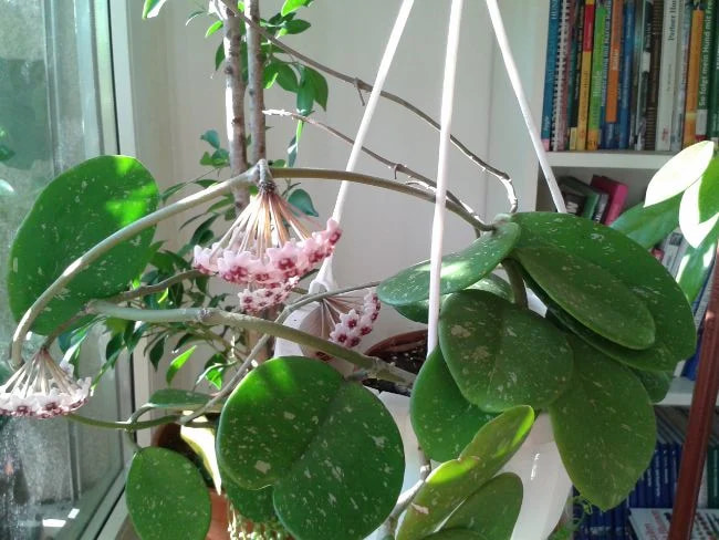 Hoya Obovata Flower Picture