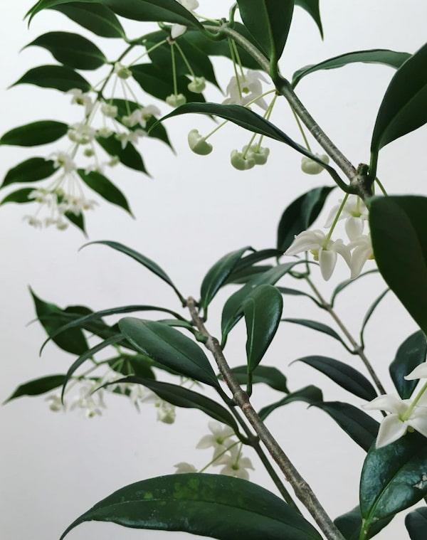 Hoya Odorata Flower Picture