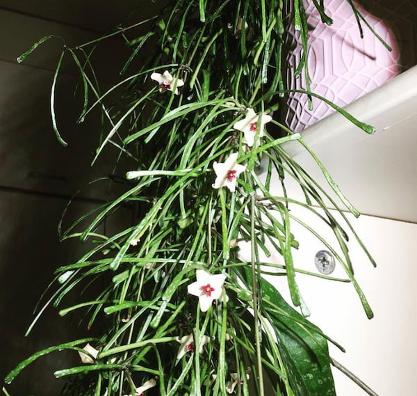Hoya Retusa Flower Picture