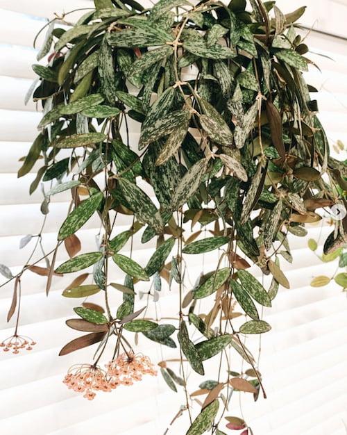 Hoya Sigillatis Flower Picture
