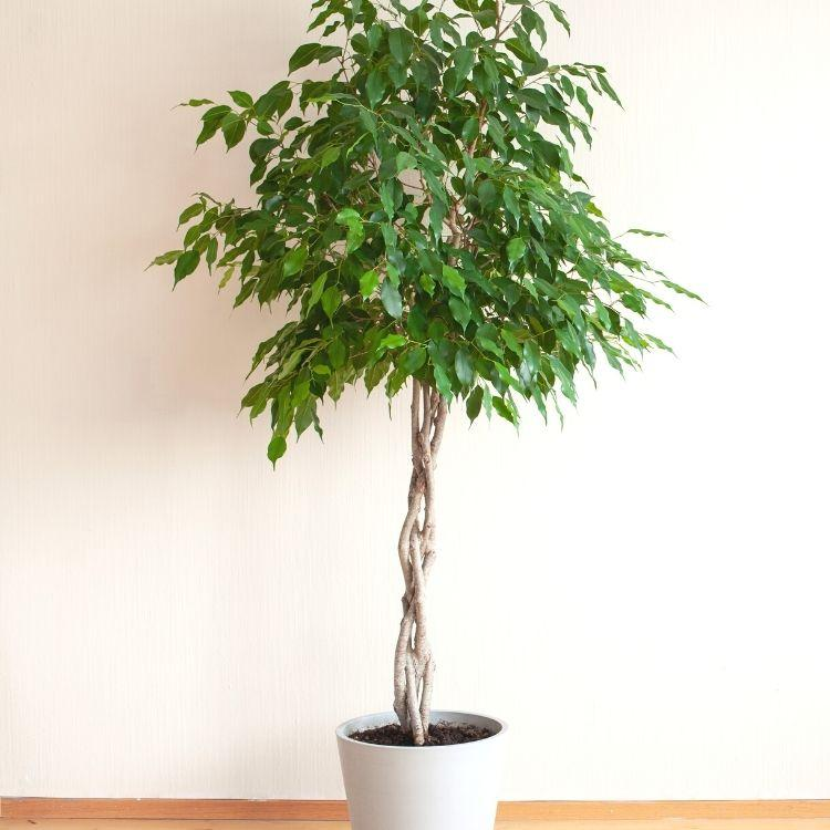 Weeping fig - most common house plant