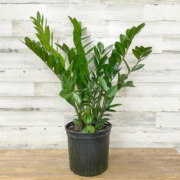 zz plant - most common house plant