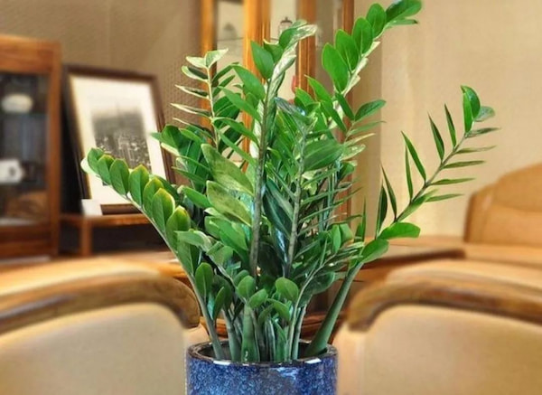 ZZ Plant Care Guide: How to Care for ZZ Plant