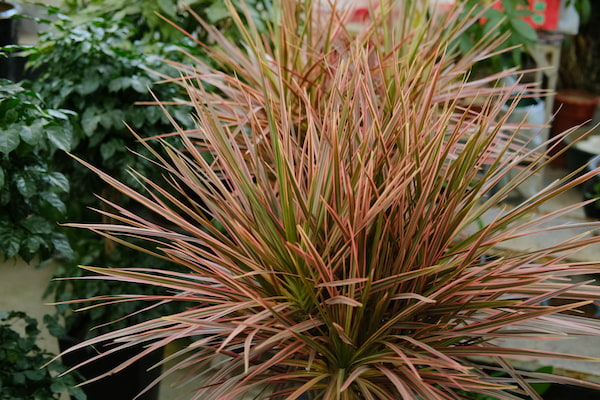 Dracaena Marginata Plant Care Guide