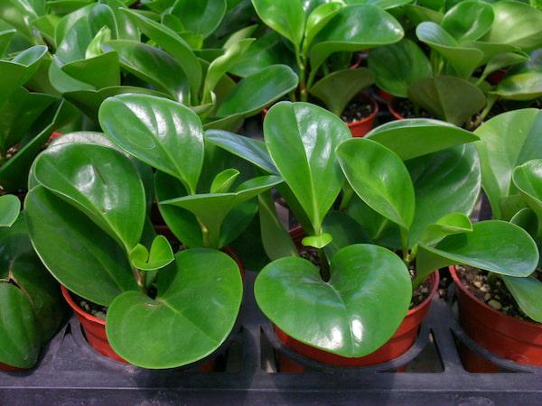 Peperomia Obtusifolia (Baby Rubber Plant) Care & Propagation Guide