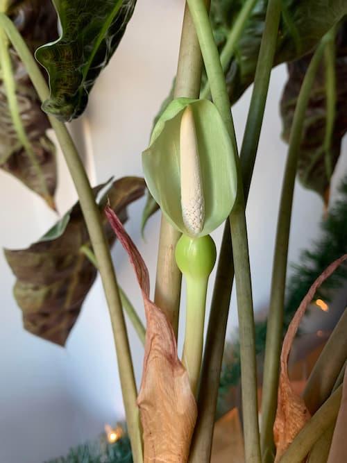 Alocasia Polly flower