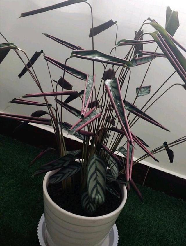 prayer plant leaves curling