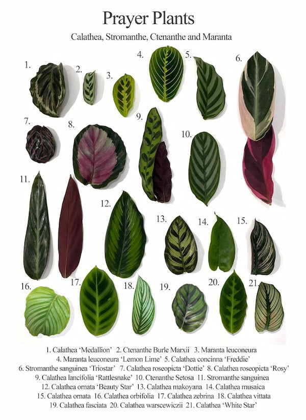 prayer plant varieties with pictures