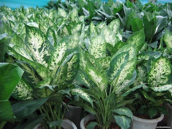 Dumb Cane Plant Care & Propagation