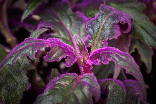 Purple Passion Plant Care & Propagation